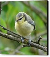Blue Tit In A Cherry Tree Canvas Print