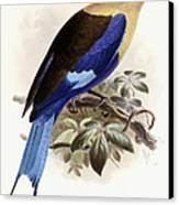 Bluebellied Roller Canvas Print by Johan Gerard Keulemans
