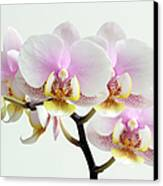 Blushing Orchids Canvas Print by Juergen Roth