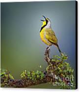 Bokmakierie Bird - Telophorus Zeylonus Canvas Print by Johan Swanepoel