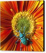Boll Weevil On Mum Canvas Print by Garry Gay