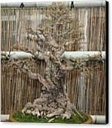 Bonsai Treet - Us Botanic Garden - 01136 Canvas Print by DC Photographer