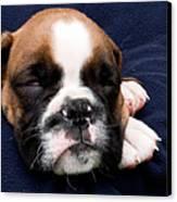 Boxer Puppy Sleeping Canvas Print by Weston Westmoreland
