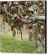 Branch Of An Apple Tree Canvas Print by Juli Scalzi