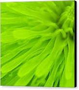 Bright Lime Green Dandelion Close Up Canvas Print by Natalie Kinnear