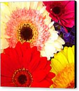 Brightly Colored Gerbers Canvas Print