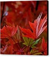 Brilliant Red Maples Canvas Print by Linda Unger