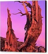 Bristlecone Pine At Sunset White Mountains Californa Canvas Print