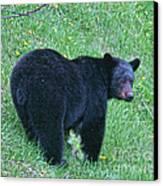 Browsing Black Bear Canvas Print