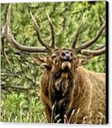 Bugling Bull Elk II Canvas Print by Ron White