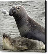 Bull Approaches Cow Seal Canvas Print by Mark Newman