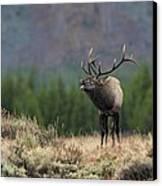 Bull Elk Calling Canvas Print by Daniel Behm