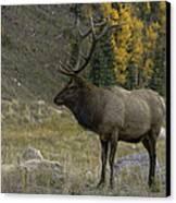 Bull Elk In Hidden Valley Canvas Print by Tom Wilbert