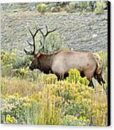 Bull Elk In Rut Canvas Print