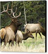 Bull Elk With His Harem Canvas Print by Bob Christopher