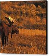 Bull Moose At Sunset Canvas Print by Tim Grams