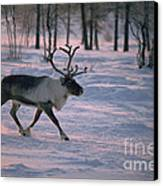 Bull Reindeer In  Siberia Canvas Print