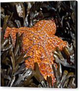 Buried In Kelp Canvas Print by Sarah Crites