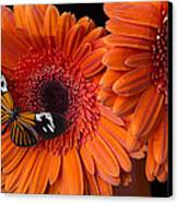 Butterfly On Orange Mums Canvas Print by Garry Gay