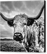 Cadzow White Cow Canvas Print