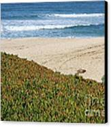 California Beach With Ice Plant Canvas Print by Carol Groenen