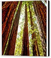 California Coastal Redwoods Canvas Print