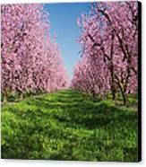 California Peach Tree Orchard  Canvas Print