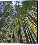 California Redwood Forest Canvas Print by Brendan Reals