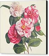 Camelias Canvas Print by Augusta Innes Withers