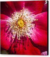 Camellia Canvas Print by Carolyn Marshall