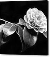 Camellia Flower In Black And White Canvas Print