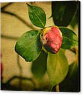 Camellia Canvas Print by Marco Oliveira