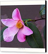 Camellia 'tulip Time' Canvas Print by Saxon Holt