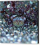 Camouflaged Crab Canvas Print by Sarah Crites