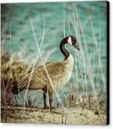 Canada Goose Canvas Print by Gerald Murray Photography