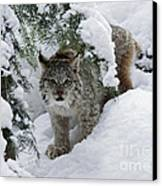 Canada Lynx Hiding In A Winter Pine Forest Canvas Print by Inspired Nature Photography Fine Art Photography