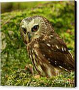 Canada's Smallest Owl - Saw Whet Owl Canvas Print by Inspired Nature Photography Fine Art Photography