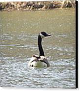 Canadian Goose Swimming Canvas Print by Cim Paddock