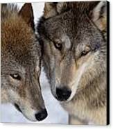 Captive Close Up Wolves Interacting Canvas Print