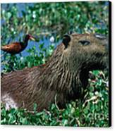 Capybara And Jacana Canvas Print by Francois Gohier