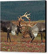 Caribou Males Sparring Canvas Print by Matthias Breiter