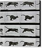 Cat Running Canvas Print by Eadweard Muybridge