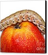 Caterpillar On The Apple. Canvas Print by Alexandr  Malyshev