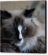 Cats 64 Canvas Print by Joyce StJames