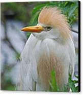 Cattle Egret Canvas Print by Skip Willits