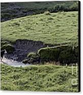 Cattle Running Canvas Print