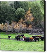 Cattles At Fernandez Ranch California - 5d21071 Canvas Print by Wingsdomain Art and Photography