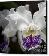 Cattleya Catherine Patterson Full Bloom Canvas Print