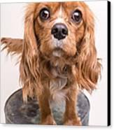 Cavalier King Charles Spaniel Puppy Canvas Print by Edward Fielding