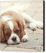 Cavalier Puppy Canvas Print